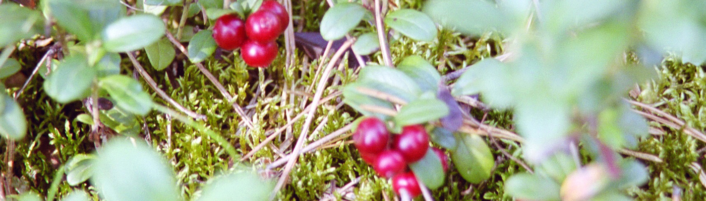 image_lingonberry